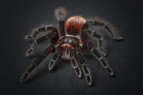 ferngesteuerte Spinne